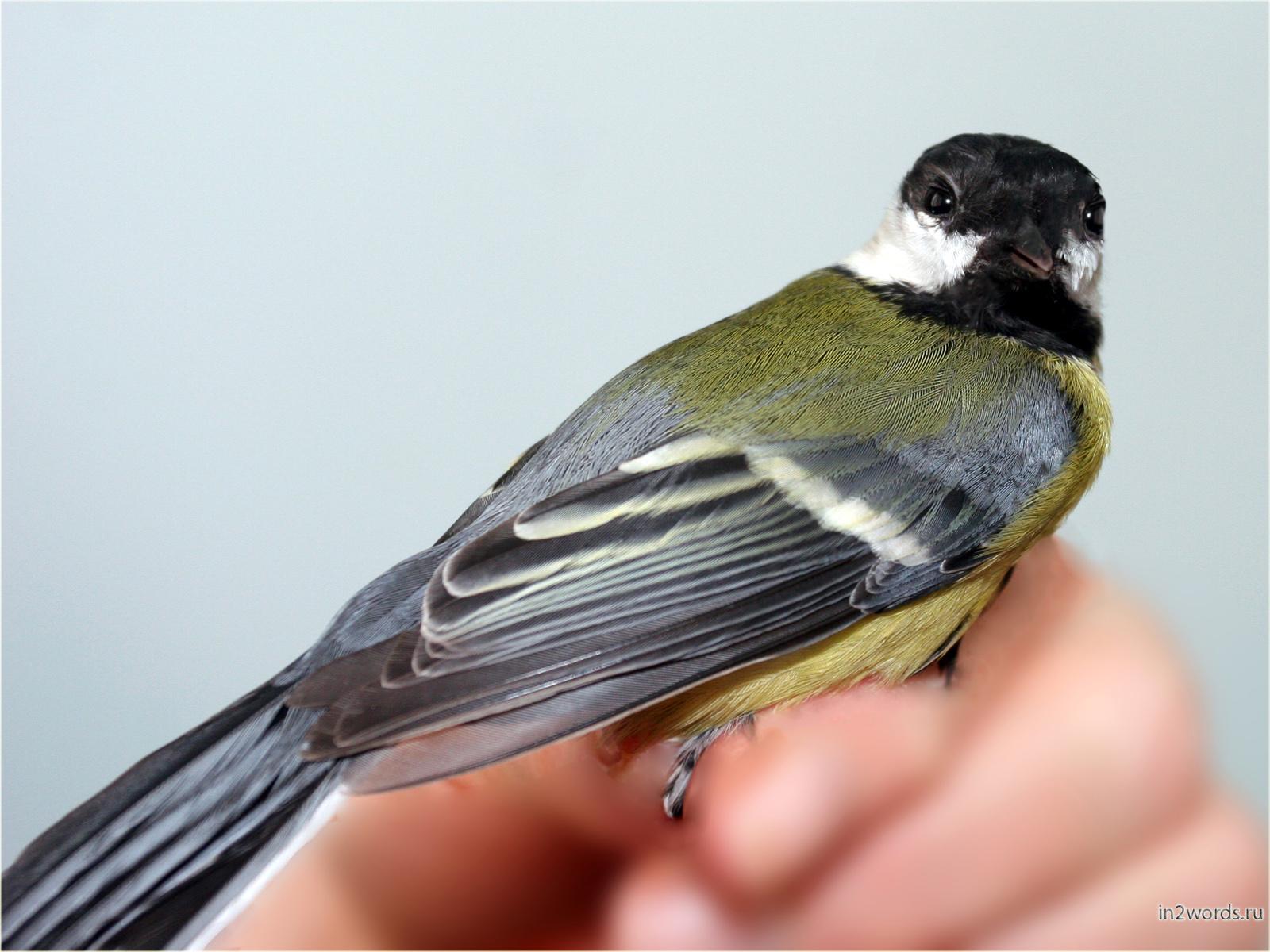 Залетевшая синица в руках или третья птица счастья!