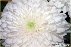 Белая крупная хризантема