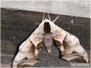 Ночное создание - мотылек или бабочка?