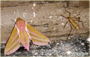 Розовый мотылек и комар. Бражник винный или Elephant Hawk Moth