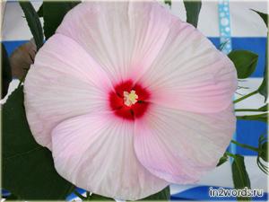 Китайская роза - Гибискус китайский. Розовый, лиловый и белый цвета.