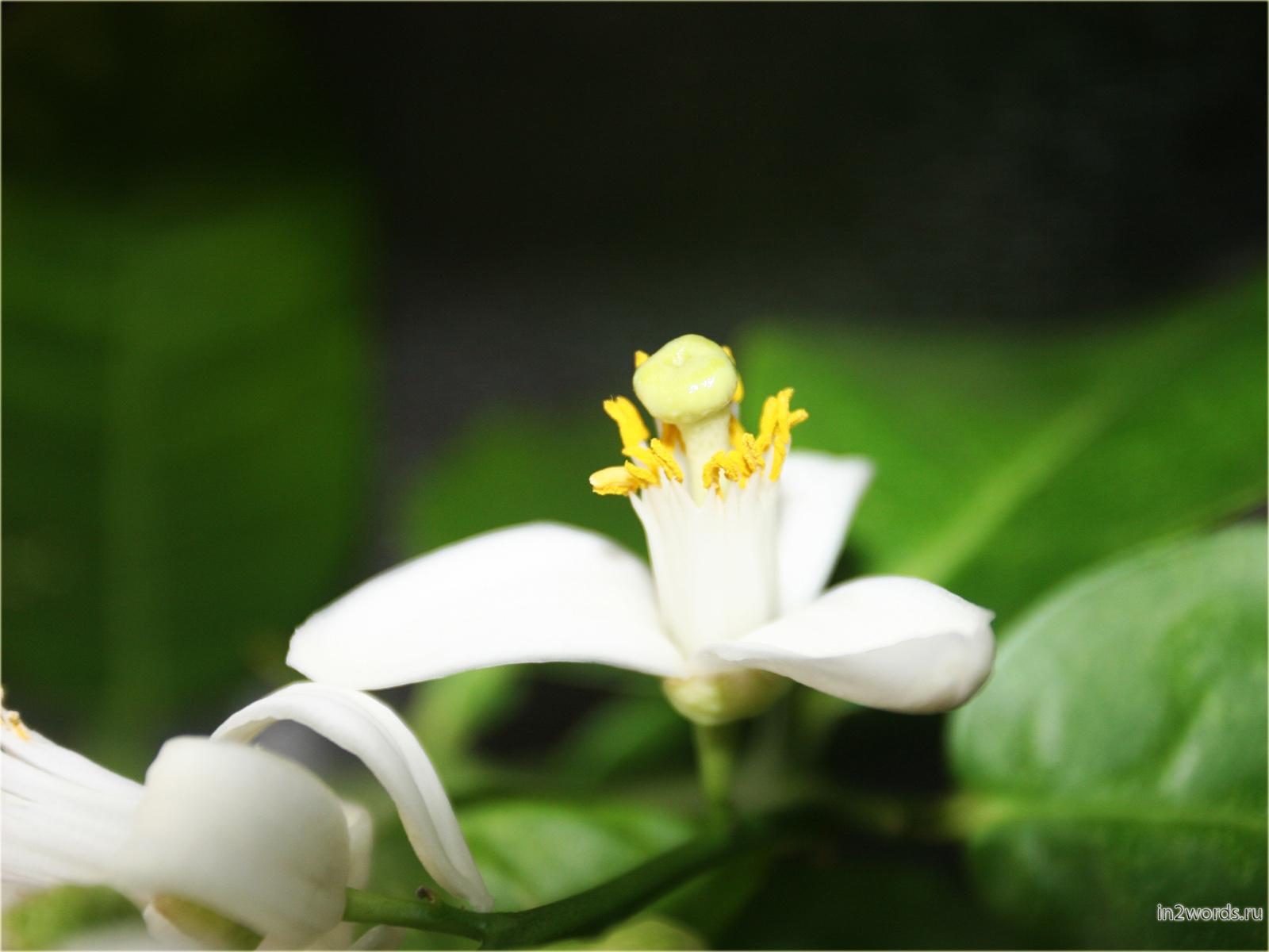 Цветущий лимон. Очарование цветка и колкость веточек.