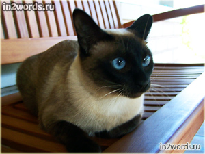Эти глаза напротив на меня нагоняют страх. Сиамский кот беспощадный агрессор или простой пушистик?