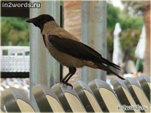 Серая ворона на водопое в Турции. Ворона птица гордая.