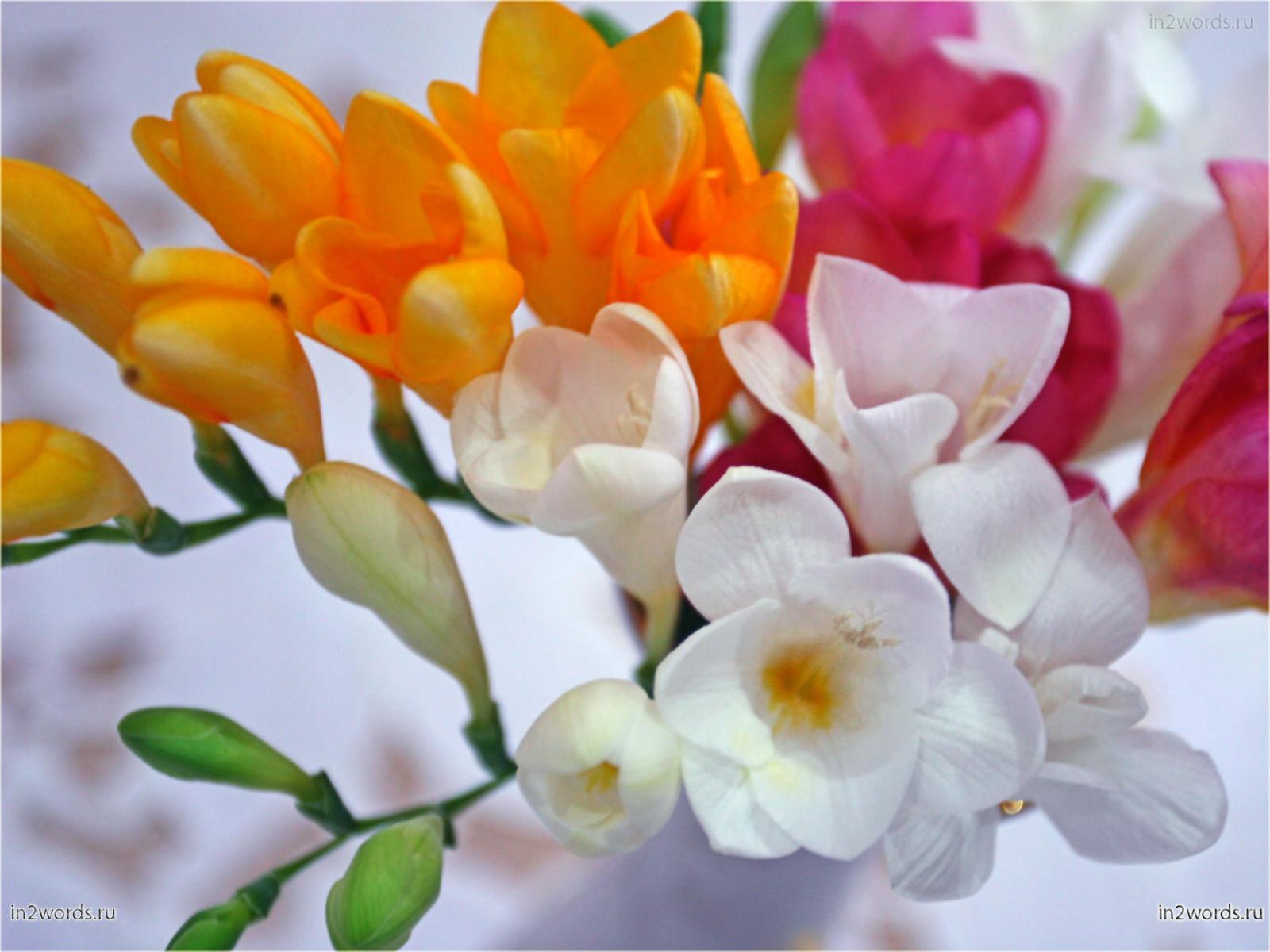 Фрезии. Очень нежные и ароматные весенние цветы в маленьком букете.