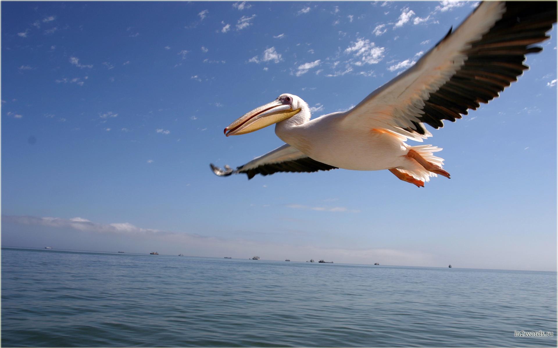 Гламурные розовые пеликаны. Волвис Бэй (Walvis Bay), Намибия.
