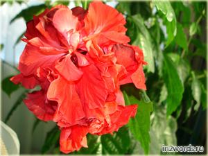 Китайская роза - Гибискус китайский. Махровый цветок. Часть 1