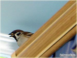 Залетный воробей или вторая птица счастья