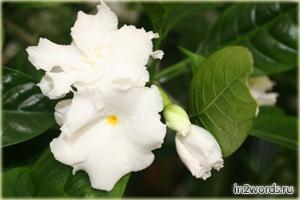 Табернемонтана (Эрватамия) тропический цветок мечты