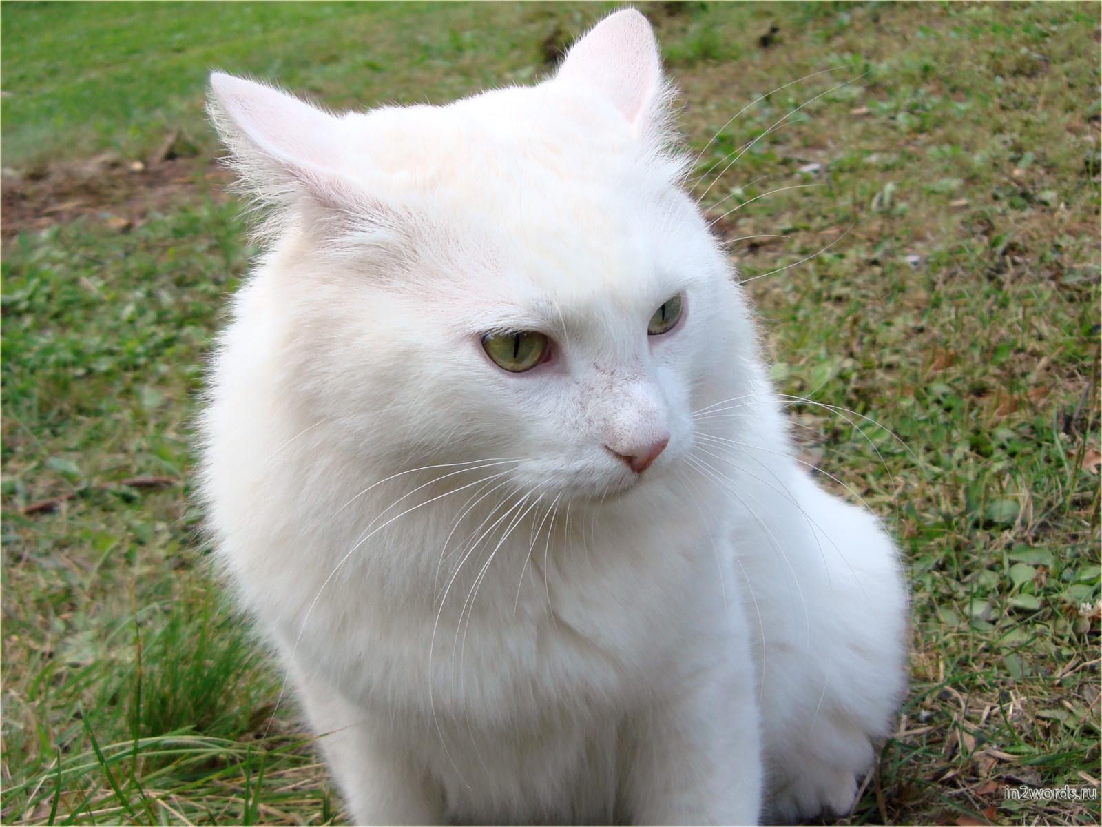 Белый и пушистый кот недоволен