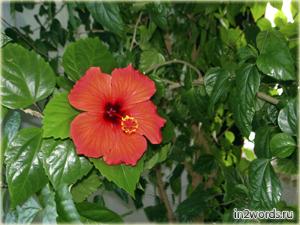 Китайская роза - Гибискус китайский. Часть 2