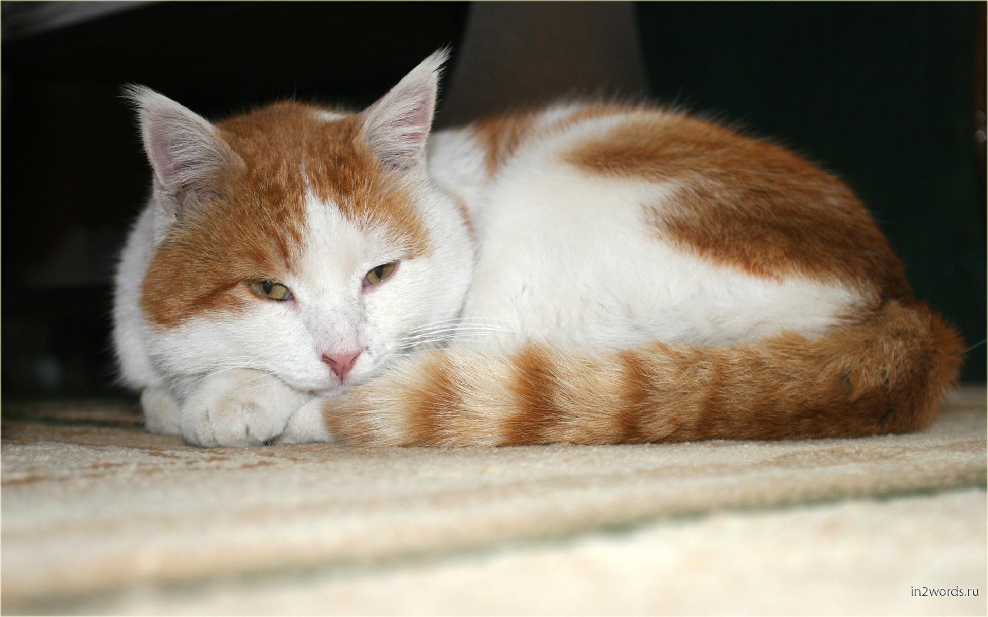 Домашний тигр резвится и отдыхает, то разбросав, то сложив лапки. Рыжее солнце.