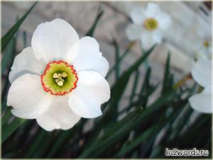 Нарцисс (по-английски Daffodil). Narcissus Poeticus Actaea и Pheasant
