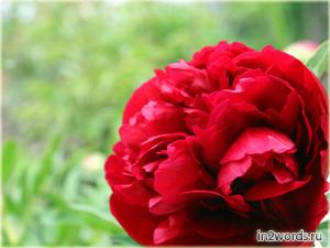 Красный пион, первый из всех, пока еще весенний.