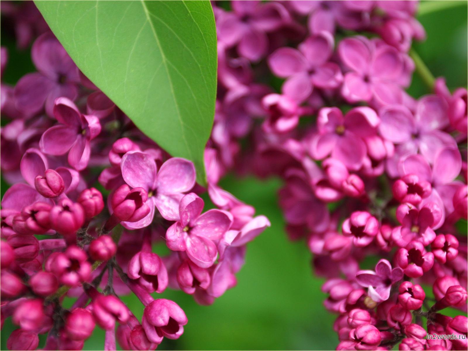 Сирень цвета фуксия и розового. Яркие обои для рабочего стола.