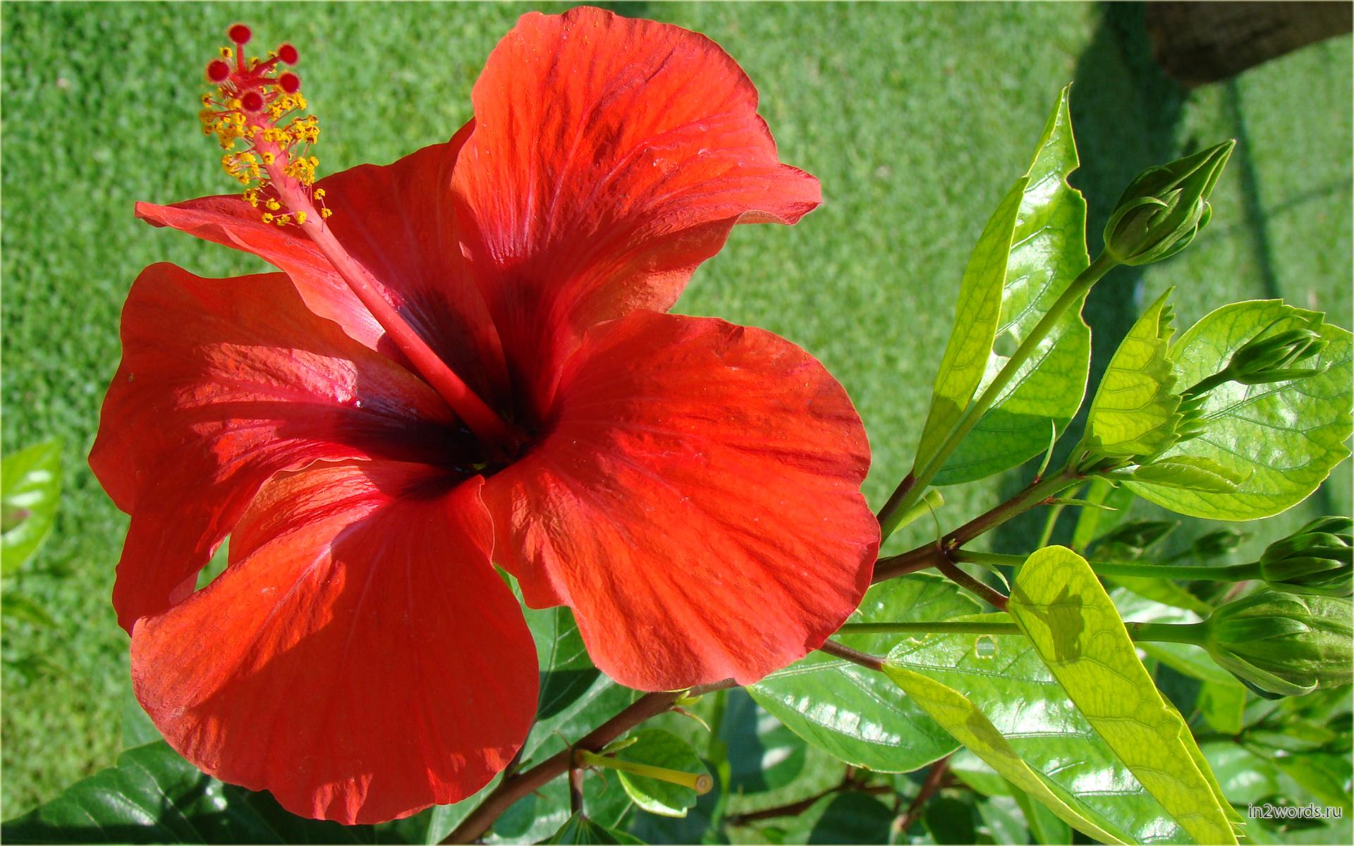 Китайская роза - Гибискус китайский. Солнечная желтая, персиково-оранжевая, белая.